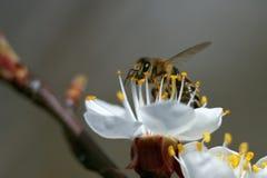 Bi på en blomma, närbild royaltyfria foton
