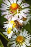 Bi på en blomma som samlar pollen Arkivbilder