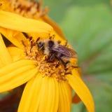 Bi på en gul blomma Arkivbilder