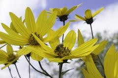 Bi på en gul blomma Arkivfoto