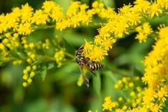 Bi på en gul blomma buske arkivfoto