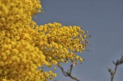 Bi på en gul mimosa Arkivbild