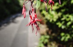 Bi på en hängande röd blomma Arkivfoton