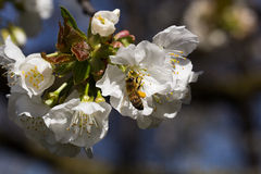 Bi på en körsbärsröd blomning Fotografering för Bildbyråer