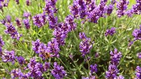 Bi på en lila lavendel funktionsdugligt bi för honung summerfeeling lager videofilmer