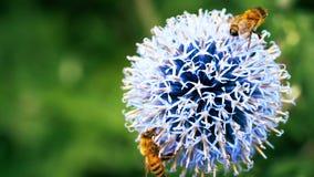 bi på en maskros - bi på en blomma - blommor, blomning, blom- som är härlig, arkivbild