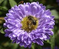 Bi på en purpurfärgad blomma Arkivfoton