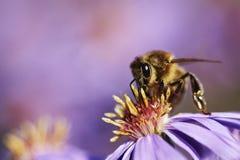 Bi på en purpurfärgad blomma royaltyfria bilder