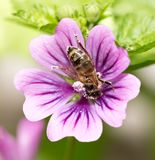 Bi på en purpurfärgad blomma Makro arkivbilder