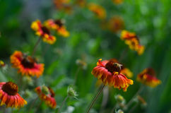 Bi på en röd blomma Royaltyfri Fotografi