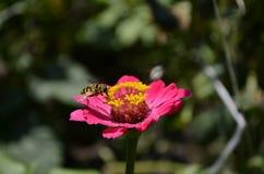 Bi på en rosa blomma Arkivfoton