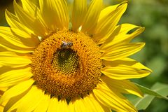 Bi på en solros Royaltyfri Foto
