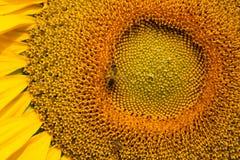 Bi på en solros Arkivbild