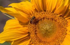 Bi på en solros Fotografering för Bildbyråer