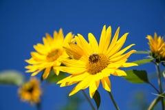 Bi på en solros Arkivfoto