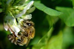 Bi på en växt av släktet Trifolium Fotografering för Bildbyråer