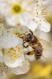Bi på en vårblomma som samlar pollen Royaltyfria Bilder