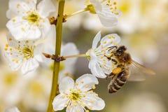 Bi på en vårblomma som samlar pollen Arkivfoto