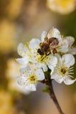 Bi på en vårblomma som samlar pollen Arkivbild