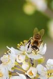 Bi på en vårblomma som samlar pollen Royaltyfri Bild