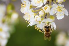 Bi på en vårblomma som samlar pollen Royaltyfri Foto