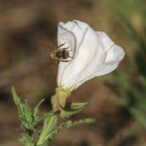 Bi på en vit blomma Arkivbilder