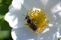 Bi på en vit blomma Blomma och bi för vårsommarros Arkivbilder