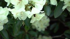 Bi på en vit rhododendron Färgkorrigering stock video