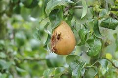 Bi på ett bitit päron med en bakgrund av sidor arkivbild