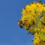 Bi på fänkålblommor som täckas av små flugor Arkivbilder