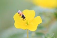 Bi på gul blomma royaltyfri fotografi