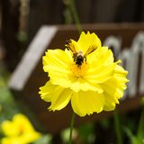 Bi på gul blomma Arkivfoto
