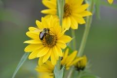 Bi på gul blomma Arkivbild