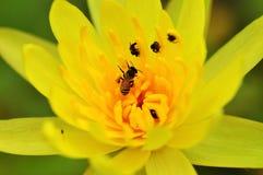 Bi på gul lotusblomma Fotografering för Bildbyråer