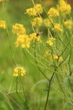 Bi på gul vildblomma Royaltyfri Fotografi