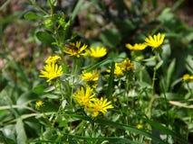 Bi på gula blommor fotografering för bildbyråer