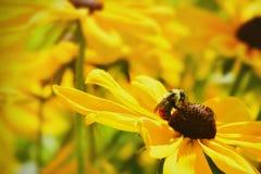 Bi på gula blommor Arkivbild