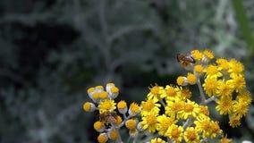 Bi på gula blommor i natur arkivfilmer