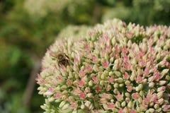 Bi på härlig blomma Royaltyfri Foto