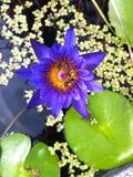 Bi på härlig blommalotusblomma Royaltyfri Foto