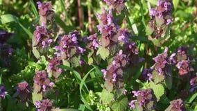 Bi på härliga purpurfärgade blommor arkivfilmer