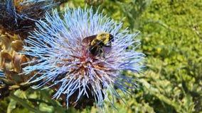 Bi på kronärtskockatisteln, Cynara Cardunculus som blomstrar i ljust solljus Arkivfoto