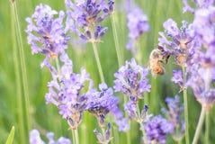 Bi på lavendelblomma Royaltyfri Foto