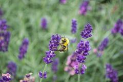 Bi på lavendelblommor Arkivfoto