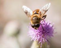 Bi på naturen Makro fotografering för bildbyråer