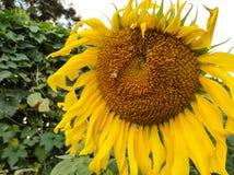 Bi på pollen av solrosen Royaltyfri Foto