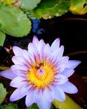 Bi på pollenlotusblomma royaltyfri fotografi