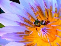 Bi på pollenlotusblomma arkivbilder