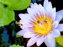 Bi på pollenlotusblomma Arkivfoto