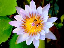 Bi på pollenlotusblomma fotografering för bildbyråer